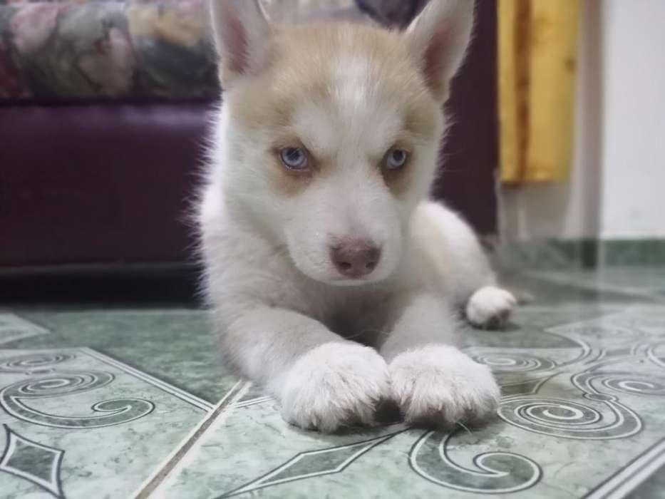 Husky Siberiano-manto Rojo