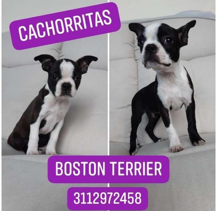 Últimas Cachorritas Boston Terrier
