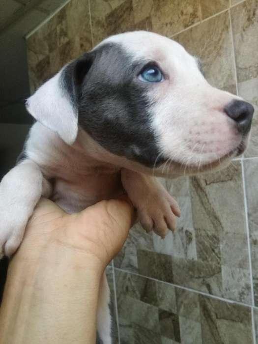 Vendo cachorros American Staffordshire Terrier