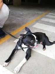 Boston Terrier Busca Novia