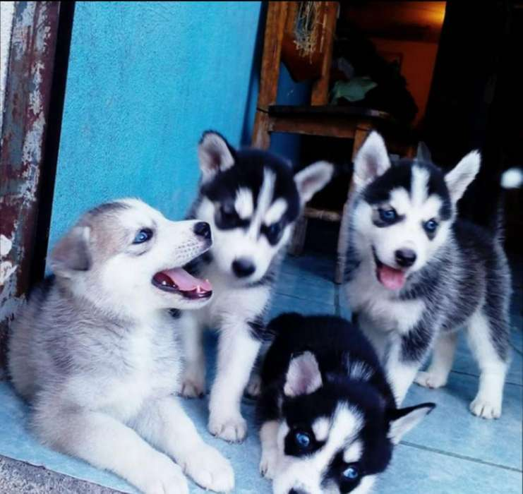 Hermosos Lobos Siberianos Disponibles