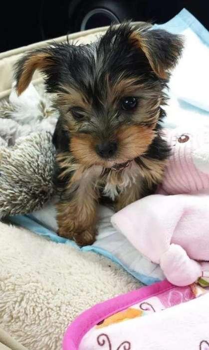 Preciosuras de Yorkshire Terrier Minis