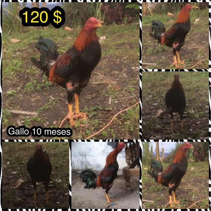 Vendo Hemosos <strong>gallo</strong>s