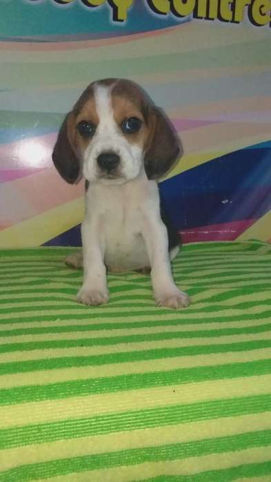 Ultimo <strong>beagle</strong> Macho Rufy