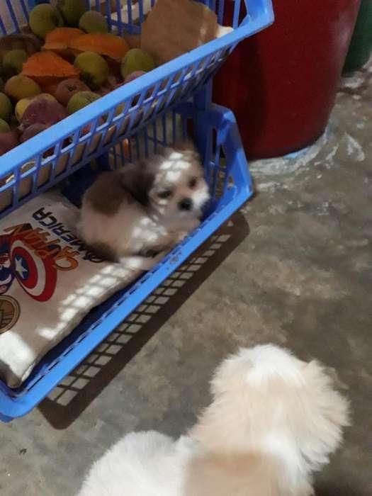 Cachorros Chitzu