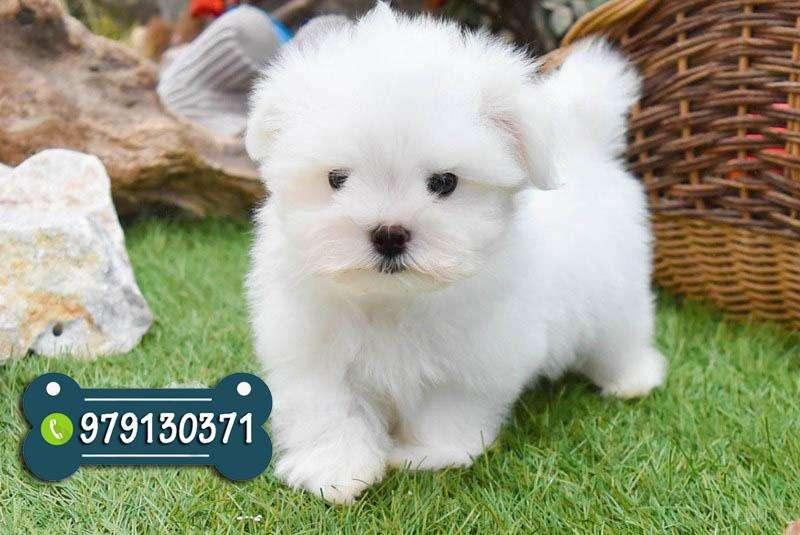 Bellos Cachorros Bichon Maltes Toys Con Garantia De Raza *Envíos A Provincia