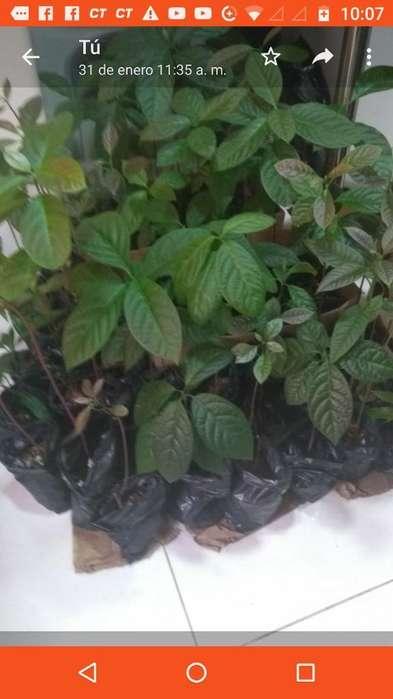 Se Venden Plantulas de Aguacate