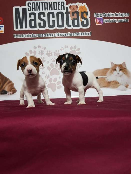 Hermosos Jack Russell <strong>terrier</strong> Disponible
