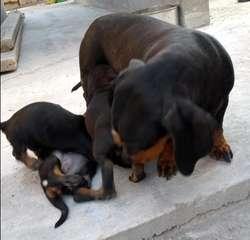Cachorros Salchicha Teckel Mini