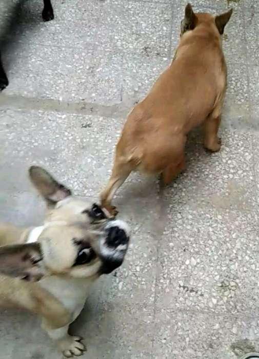 Cruzas Bulldog Frances