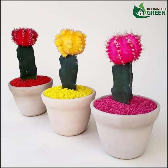 Cactus Coreanos O Injertos