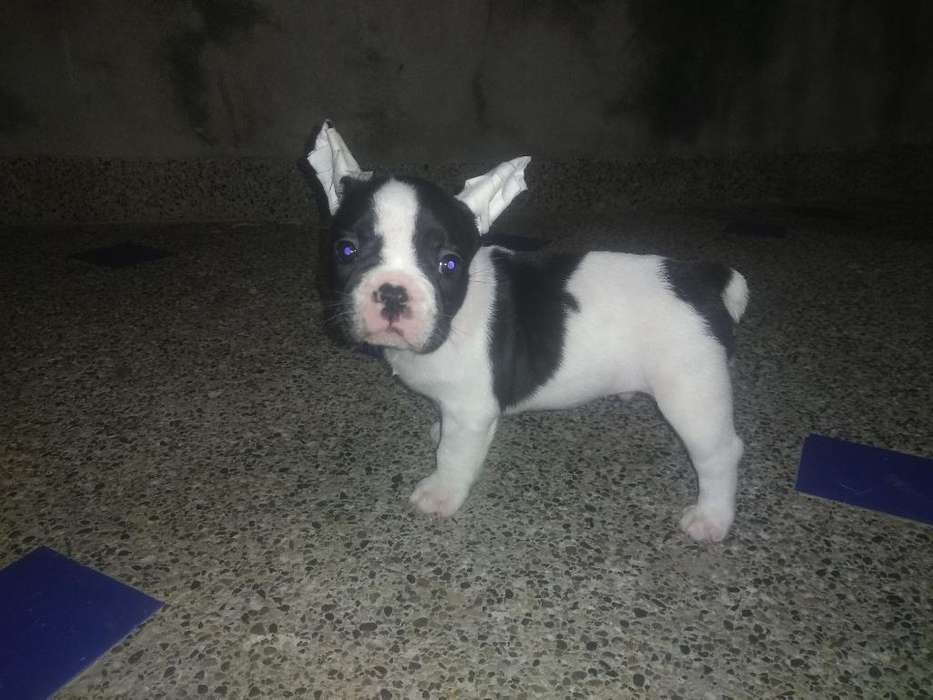 Venta de Cachorro Bulldog Francés Mini