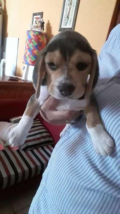 Vendo Cachorro beagle tricolor