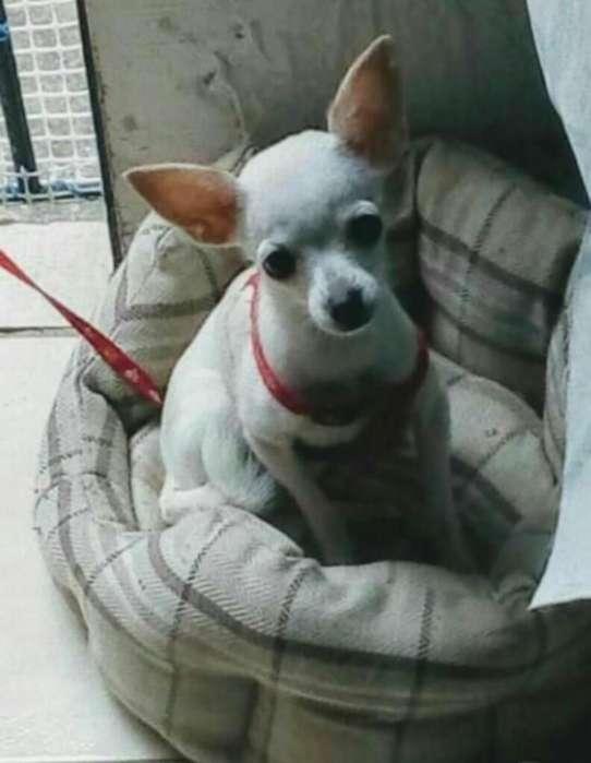 Vendo Chihuahua 6 Meses