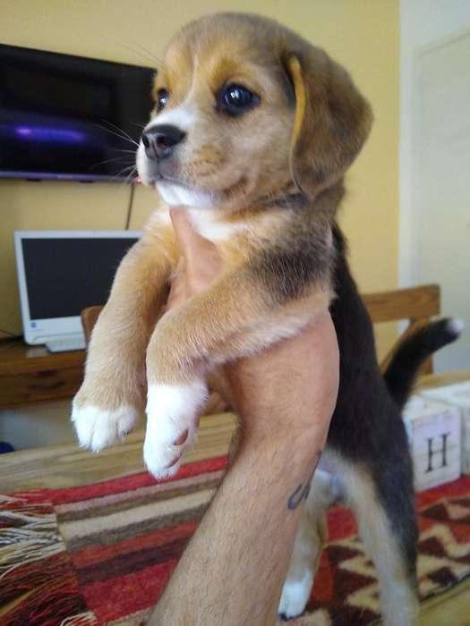 <strong>beagle</strong> 55 Dias