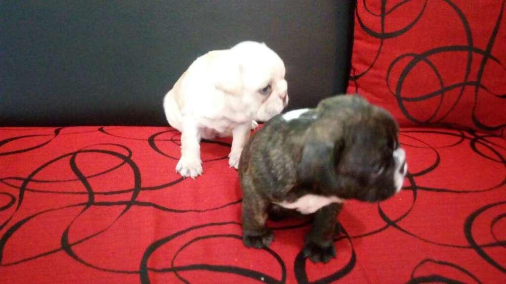 Cachorros <strong>bulldog</strong> Frances Hembritas