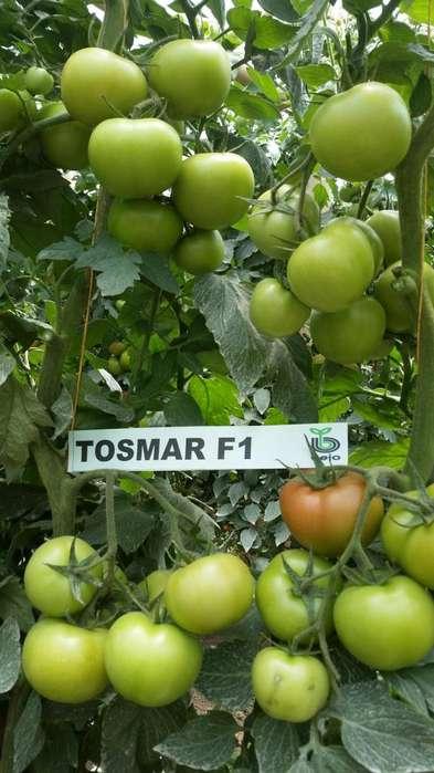 TOMATE TOSMAR F1 Big Chonto BEJO