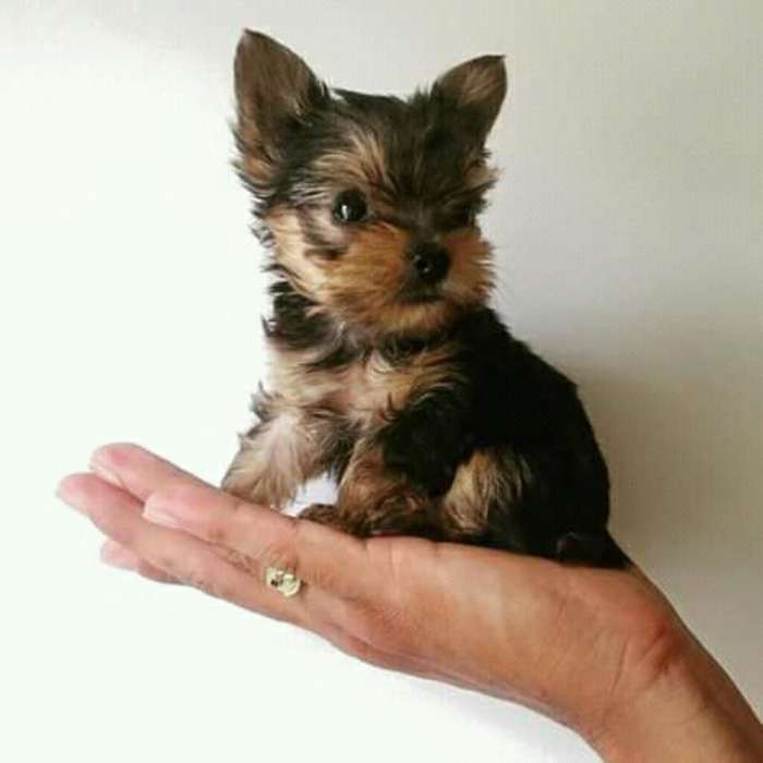 Yorki <strong>terrier</strong>