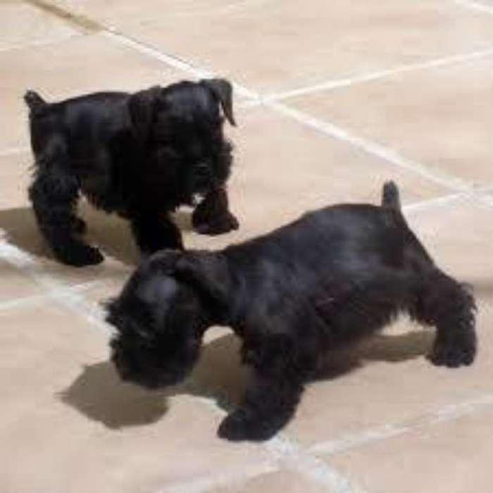 Cachorritos Schnawzer Negros