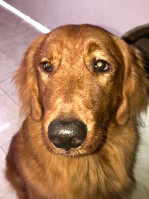 Soy Un Labrador Golde Busco <strong>perra</strong>