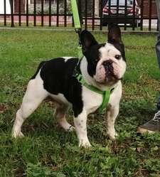 Bulldog Frances  SERVICIO DE MONTA AL 995476201