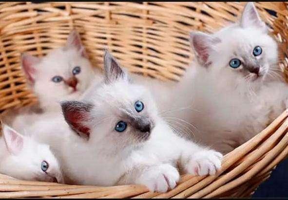 <strong>gato</strong>s todas las razas