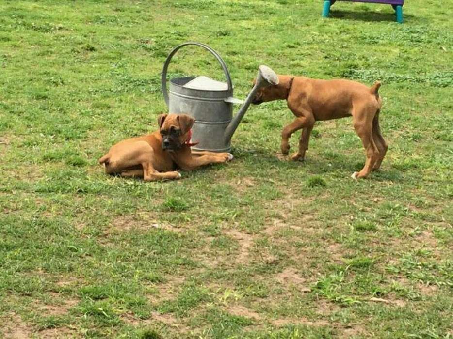 Cachorros de Boxer Entrega Inmediata
