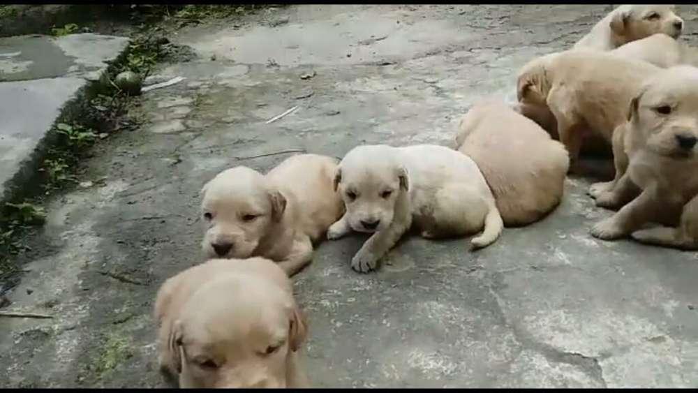 Golden Retriever <strong>cachorro</strong>s