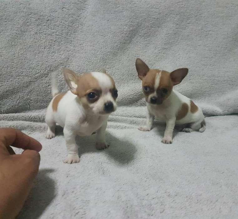 Chihuahua Toy Cabeza de Manzana