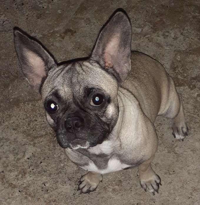 Vendo <strong>bulldog</strong>s Frances-pug
