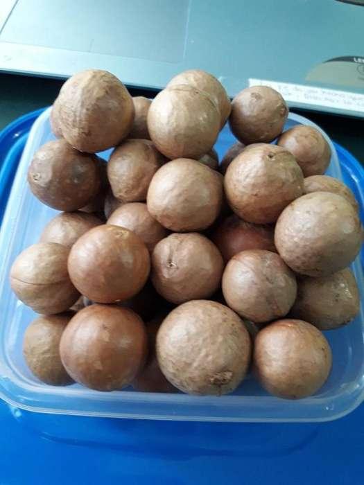 vendo 50 semillas de nuex de macadamia