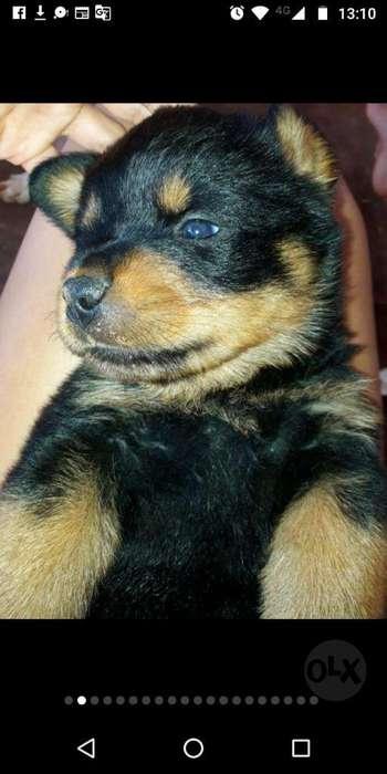 Vendo Cachorros <strong>rottweiler</strong> Puros