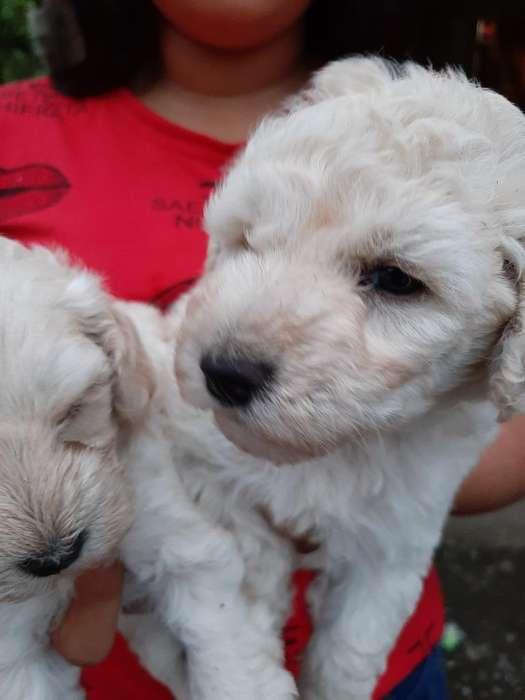 Lindos Cachorros French