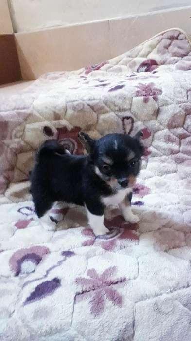 Chihuahua Minis Hembras Y Machitos