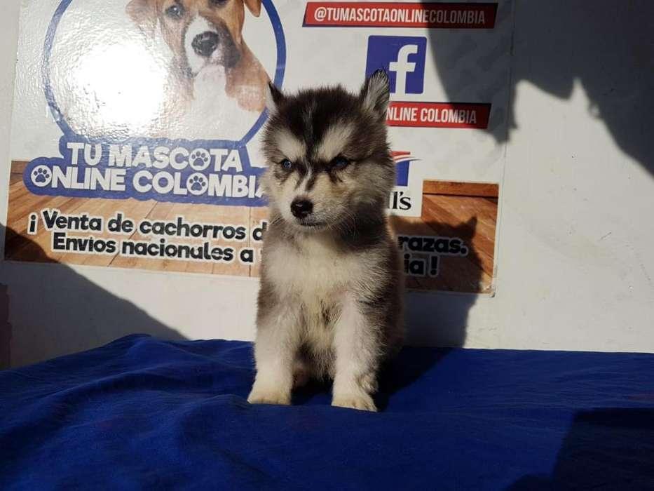 Caseros Husky Siberian Mascota