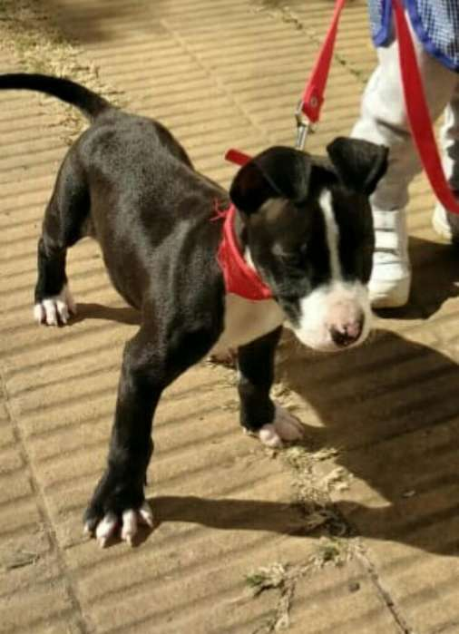 Vendo Pitgur <strong>cachorro</strong>