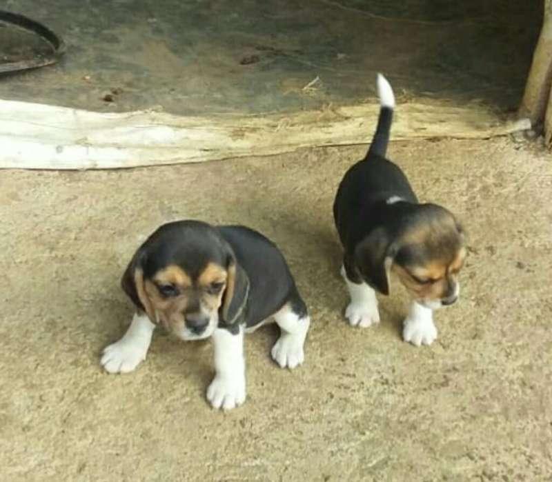 Hermoso Ejemplar Raza Beagle Tricolor