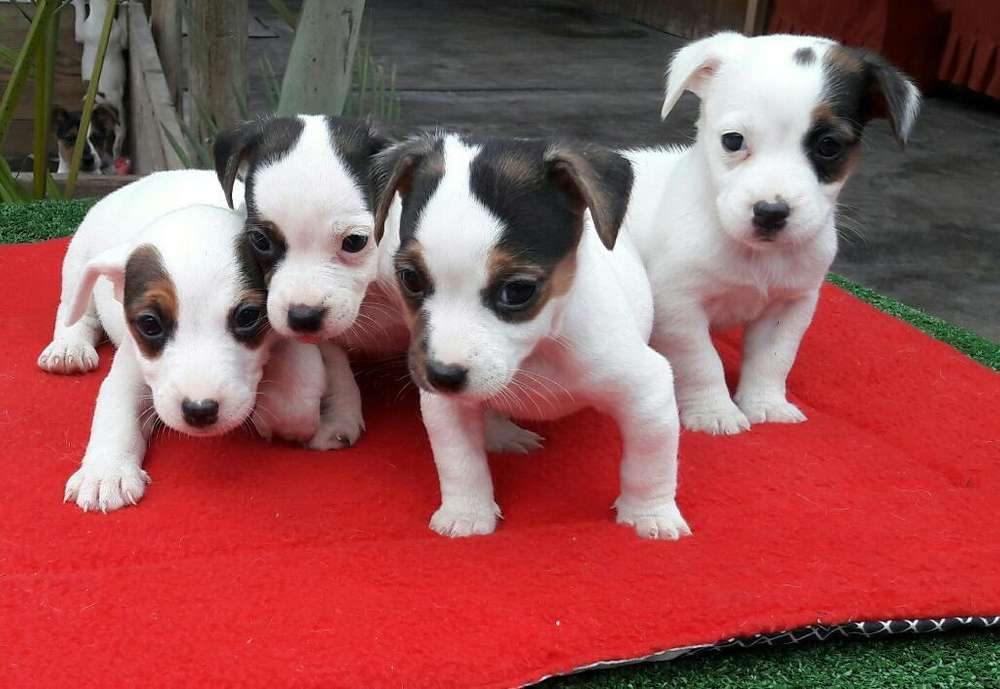 Jack Russell Hembras <strong>cachorro</strong>s Legitimos