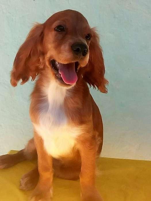 Vendo <strong>cachorro</strong> Coker Spaniel de Raza