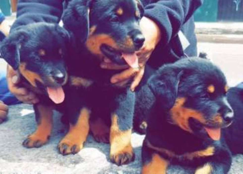 Cachorros <strong>rottweiler</strong> Aleman Disponibles