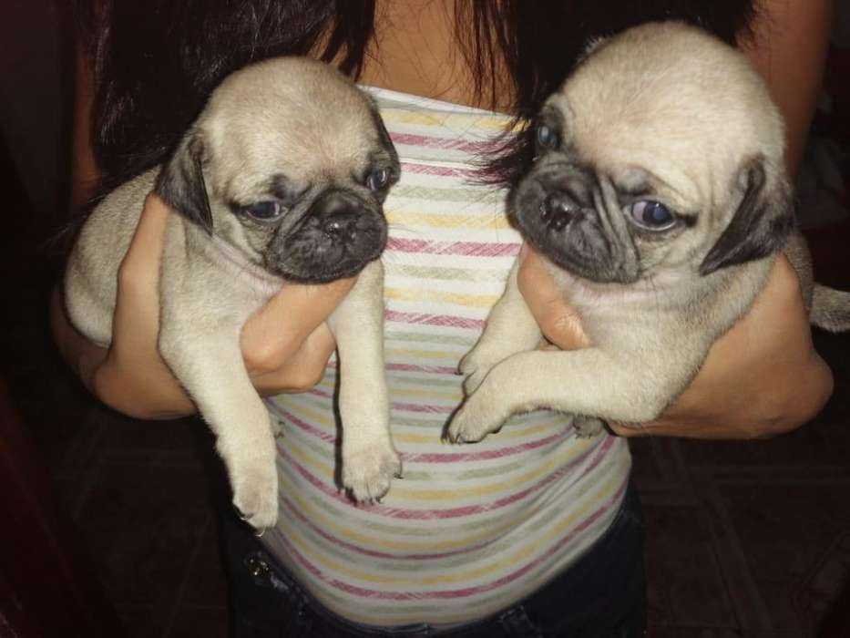 <strong>cachorro</strong>s Mini Pug