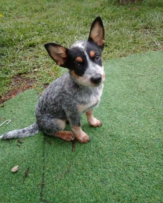 Pastor Ganadero Australiano Hermosa Cachorrita