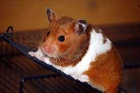 se vende hamster rusos y americanos