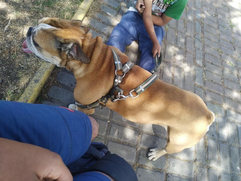Bulldog Campeiro para Monta