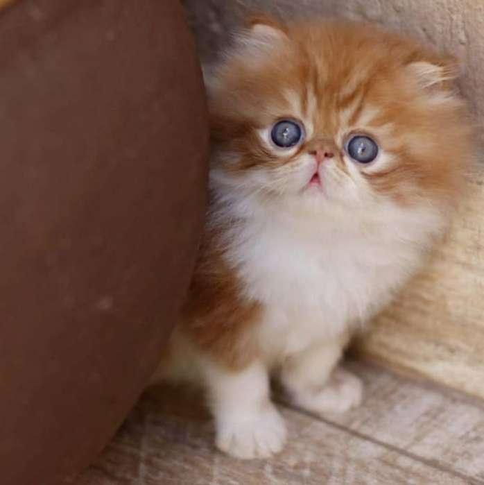 <strong>gato</strong>s Persas Divinos