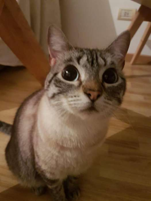 Rubí hermosa gatita de 2 años buscando un hogar para ser amada y respetada toda su vida.