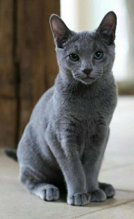 Azul Russo Gato Eee