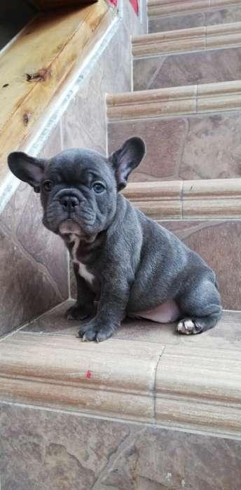 Hermosa Perrita Mini Bulldog Francés Blu