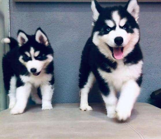 lobos siberianos husky