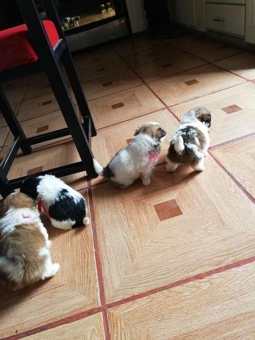 Cachorros Pequines